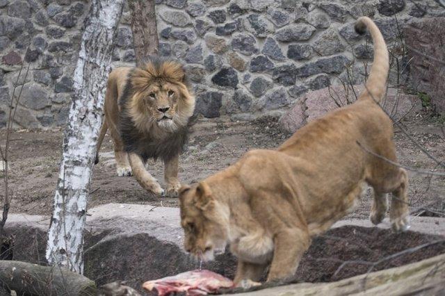 Віталій Кличко нагадав про реконструкцію київського зоопарку і показав, як годують хижаків - фото 382092