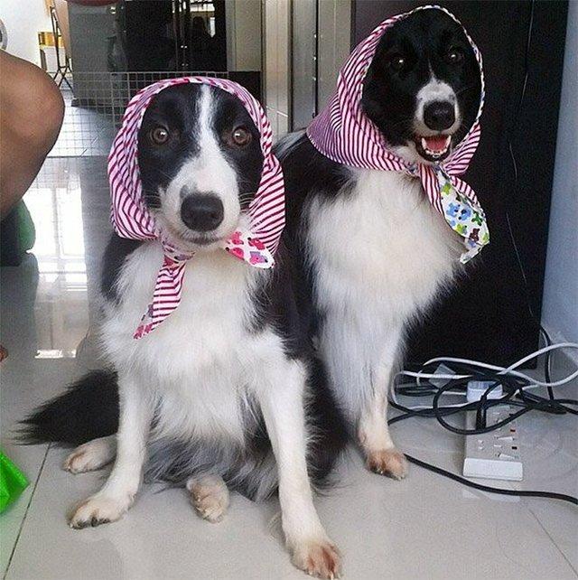 Залишили в бабусі: фото собак в хустинах, які змусять усміхнутись - фото 382228