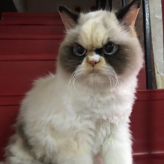 У Instagram знайшли двійника легендарної кішки Grumpy Cat: кумедні фото - фото 382774