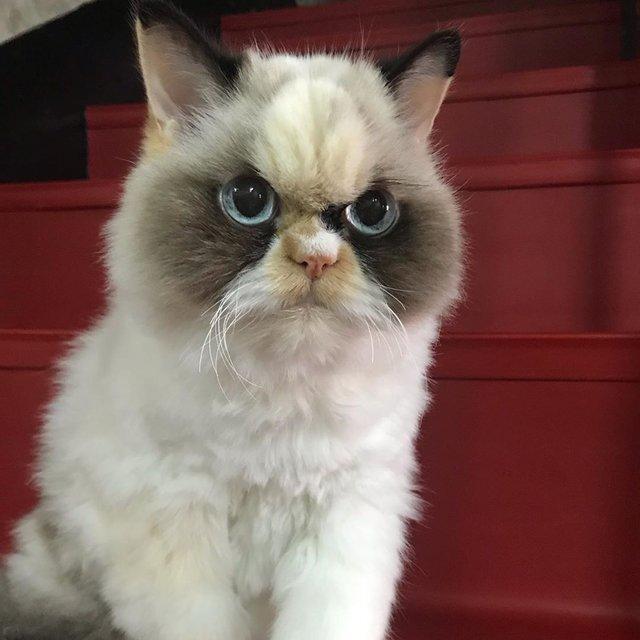 У Instagram знайшли двійника легендарної кішки Grumpy Cat: кумедні фото - фото 382775