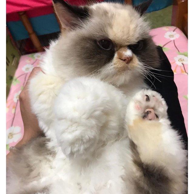 У Instagram знайшли двійника легендарної кішки Grumpy Cat: кумедні фото - фото 382776