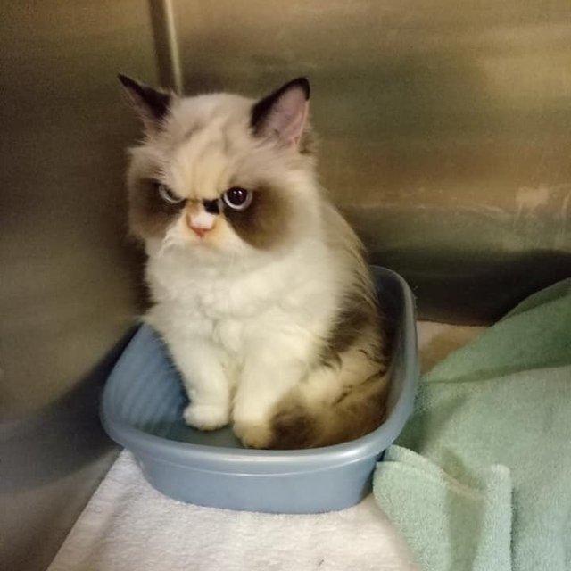 У Instagram знайшли двійника легендарної кішки Grumpy Cat: кумедні фото - фото 382777