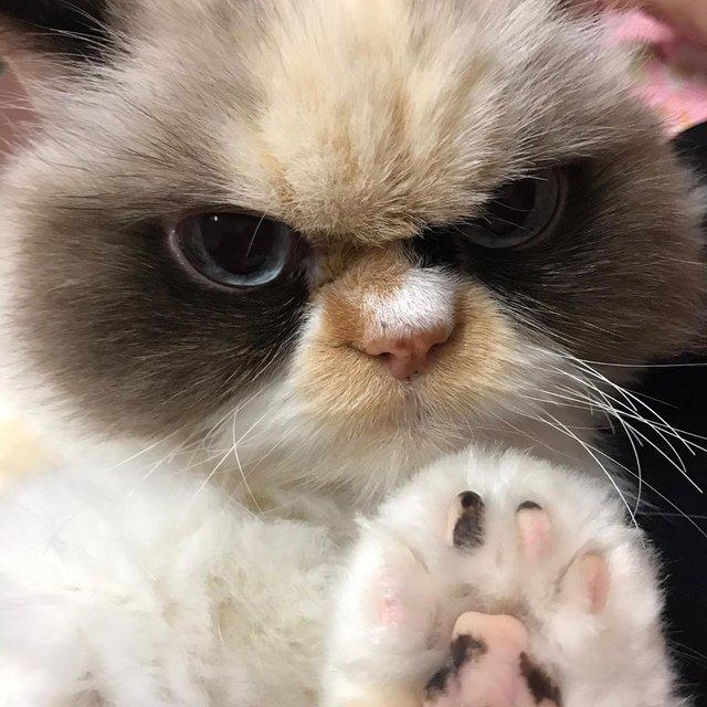 У Instagram знайшли двійника легендарної кішки Grumpy Cat: кумедні фото - фото 382778