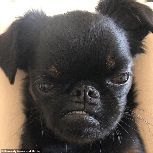 Мережу розвеселив найсуворіший пес у світі: кумедні фото - фото 383541