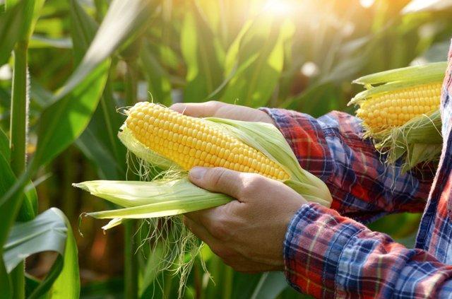 Кукурудза не лише смачна, а й корисна - фото 386038