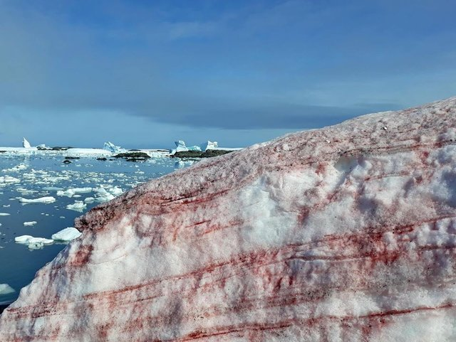 В Антарктиді сніг став багряного кольору: фотофакт - фото 388241