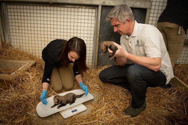 В американському зоопарку вперше в історії народилися гепарди з пробірки - фото 388777
