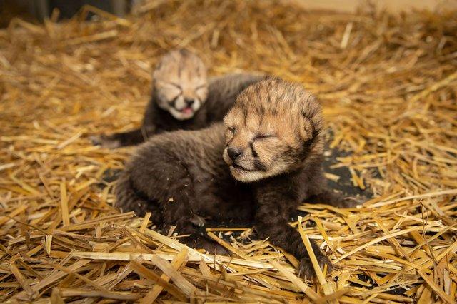 В американському зоопарку вперше в історії народилися гепарди з пробірки - фото 388778