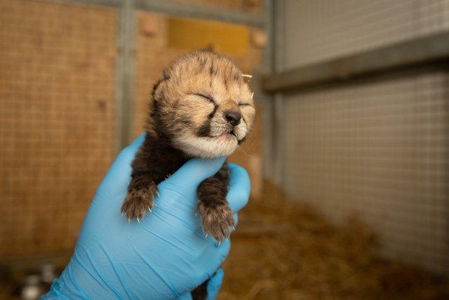В американському зоопарку вперше в історії народилися гепарди з пробірки - фото 388779