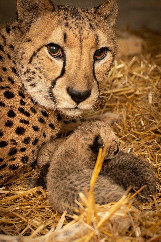 В американському зоопарку вперше в історії народилися гепарди з пробірки - фото 388780