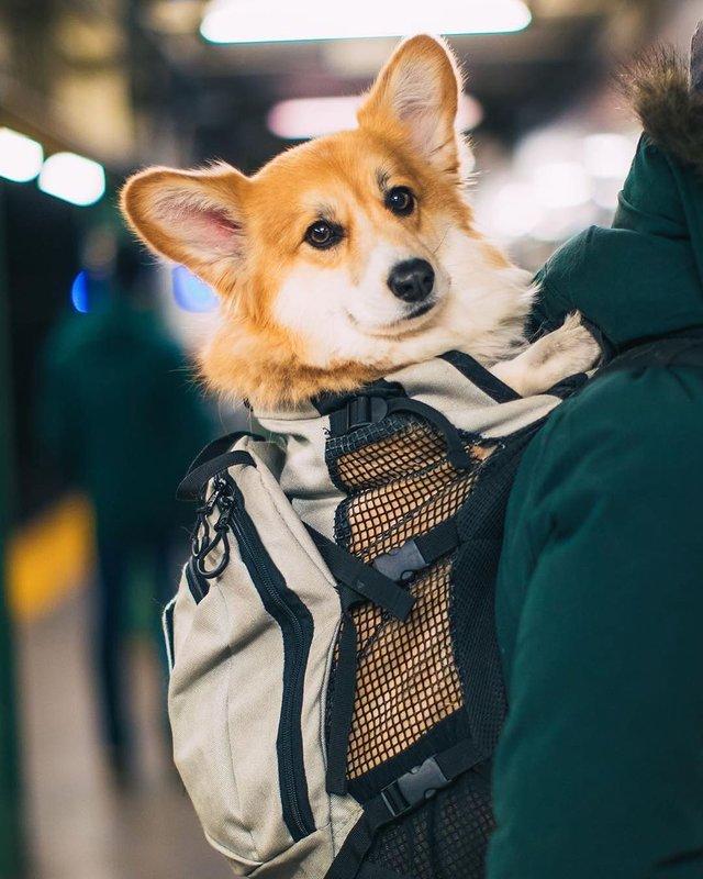 Коргі у рюкзаку став зіркою мережі: фото, які змушують завести домашнього улюбленця - фото 389104