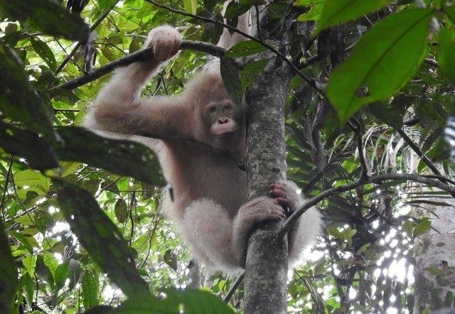Знайдено єдиного у світі орангутанга-альбіноса: фото - фото 390187
