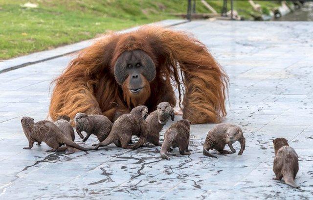 Орангутанги несподівано подружилися зі зграєю видр: кумедні фото - фото 395487