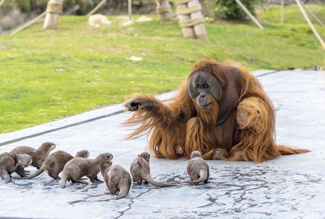 Орангутанги несподівано подружилися зі зграєю видр: кумедні фото - фото 395488