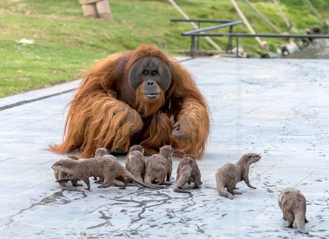 Орангутанги несподівано подружилися зі зграєю видр: кумедні фото - фото 395489