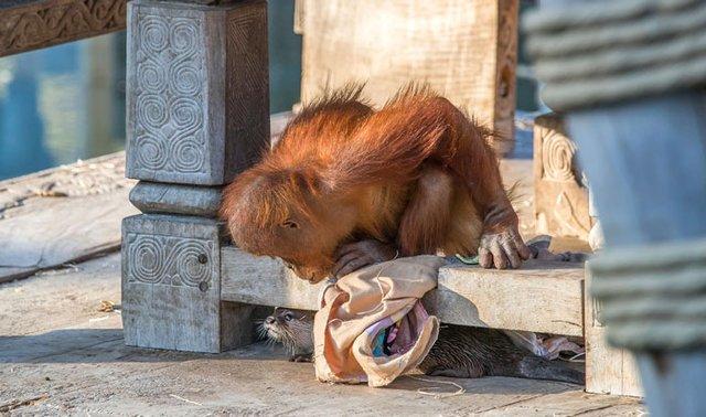 Орангутанги несподівано подружилися зі зграєю видр: кумедні фото - фото 395490