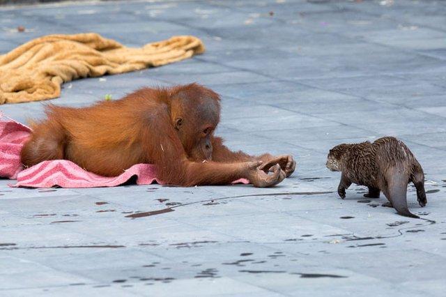 Орангутанги несподівано подружилися зі зграєю видр: кумедні фото - фото 395491