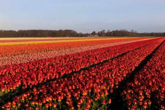 У Нідерландах знищили 400 мільйонів квітів через коронавірус - фото 397779