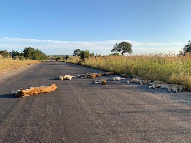 У ПАР леви насолоджуються карантином і заснули прямо на дорозі: фотофакт - фото 398833