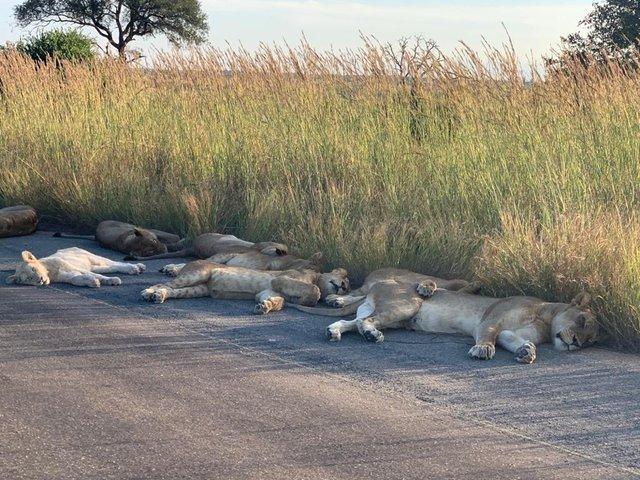 У ПАР леви насолоджуються карантином і заснули прямо на дорозі: фотофакт - фото 398834
