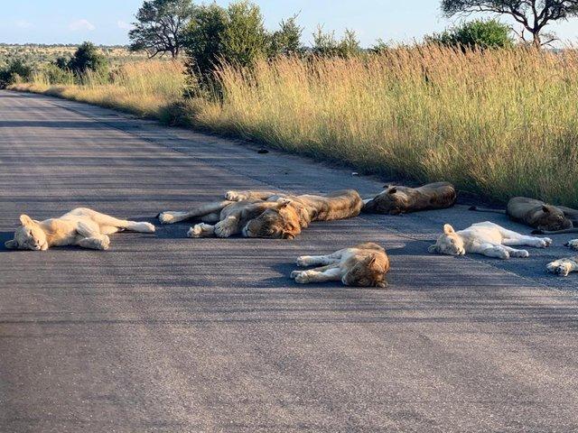 У ПАР леви насолоджуються карантином і заснули прямо на дорозі: фотофакт - фото 398835