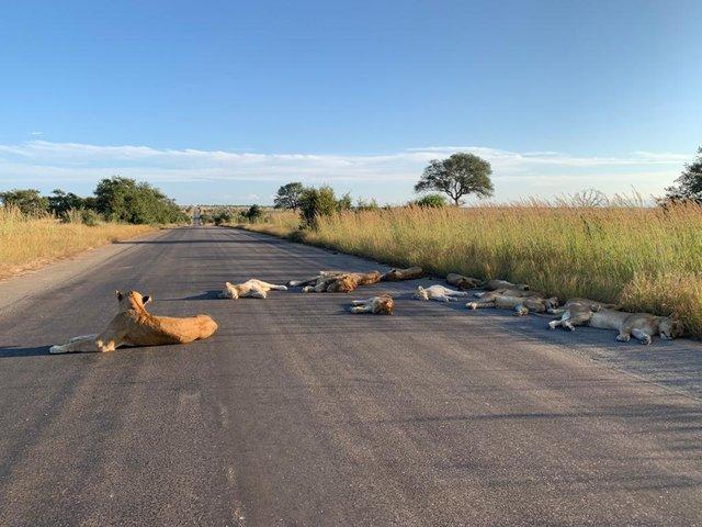У ПАР леви насолоджуються карантином і заснули прямо на дорозі: фотофакт - фото 398836