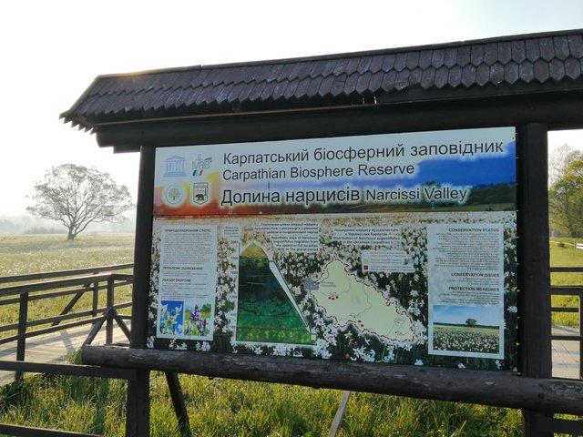 Долина нарцисів на Закарпатті відновила роботу: свіжі фото заповідника - фото 403439
