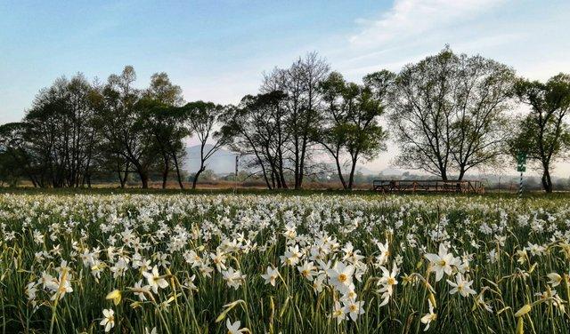 Долина нарцисів на Закарпатті відновила роботу: свіжі фото заповідника - фото 403441