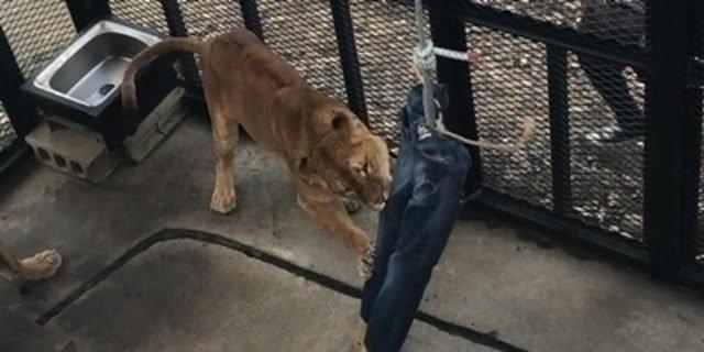 Японський зоопарк продає джинси, пошарпані левами - фото 408669