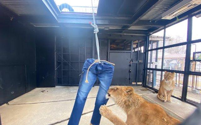 Японський зоопарк продає джинси, пошарпані левами - фото 408670