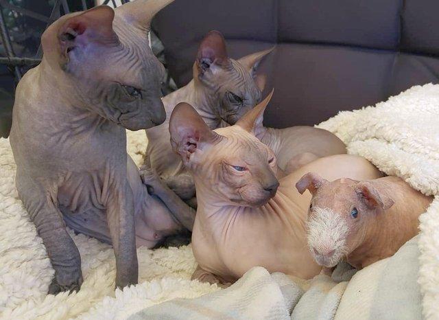 Чужих дітей не буває: в Іспанії сімейство кішок прихистило морську свинку - фото 409602