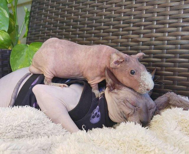 Чужих дітей не буває: в Іспанії сімейство кішок прихистило морську свинку - фото 409604