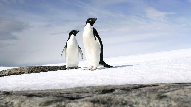 Глобальне потепління принесло користь пінгвінам Аделі - фото 412534