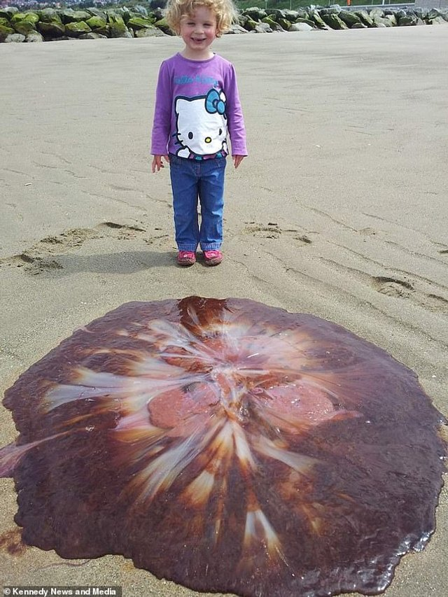 На пляжі помітили гігантську медузу: вражаюче фото - фото 413091