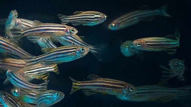 Дослідження проводили на рибках даніо - фото 415243
