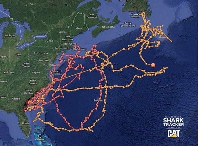 Букмекери почали приймати ставки на міграцію білих акул - фото 417685