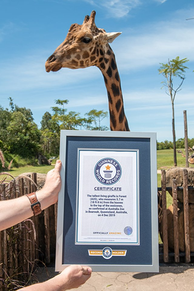 В Австралії знайшли найвищого жирафа у світі: фотофакт - фото 418761