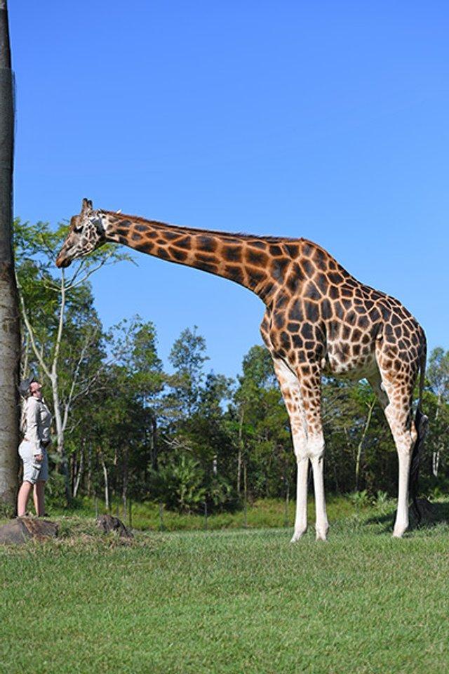 В Австралії знайшли найвищого жирафа у світі: фотофакт - фото 418762