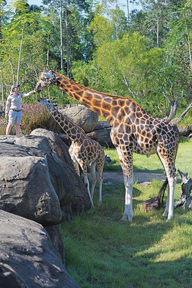 В Австралії знайшли найвищого жирафа у світі: фотофакт - фото 418763