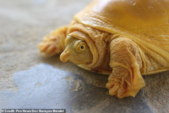 У Непалі знайшли золоту черепаху: фотофакт - фото 421573