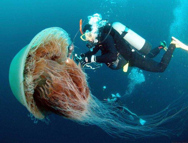 Мешканки Ірландії випадково зняли на відео найбільшу у світі медузу - фото 422885