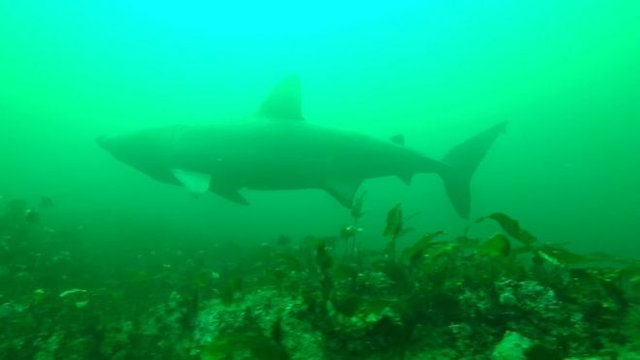 У Шотландії на морські фотопастки вдалося зняти гігантських акул - фото 423311