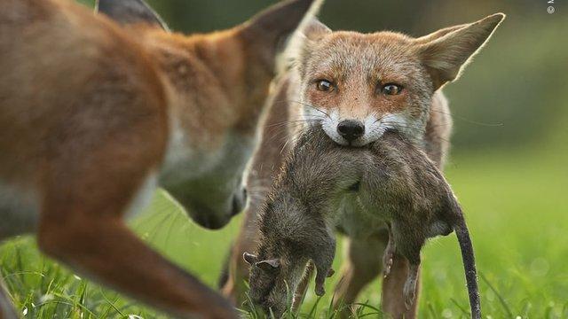 Wildlife Photographer of the Year: 13-річний фотограф став одним з переможців конкурсу - фото 423642
