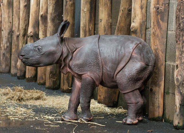 У сафарі-парку вперше за 47 років народився рідкісний індійський носоріг: фото - фото 425335