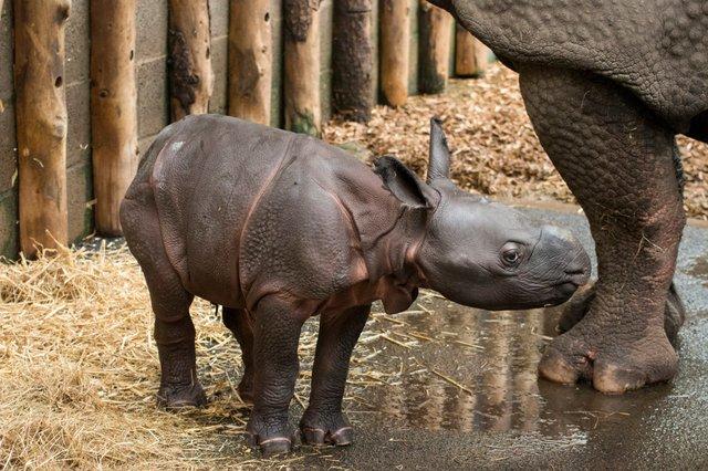 У сафарі-парку вперше за 47 років народився рідкісний індійський носоріг: фото - фото 425336