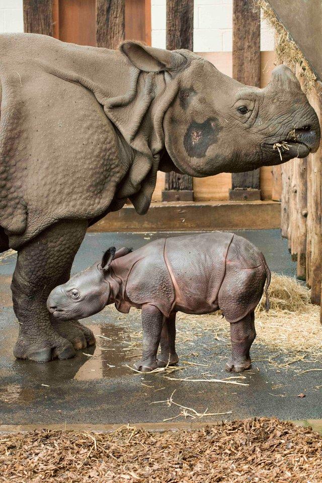У сафарі-парку вперше за 47 років народився рідкісний індійський носоріг: фото - фото 425337
