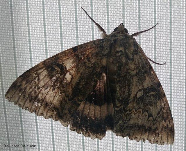 У Чорнобилі помітили метелика значних розмірів: фотофакт - фото 429780