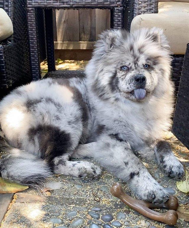 Незвичайний пес породи чау-чау став зіркою в Instagram: фото - фото 430017