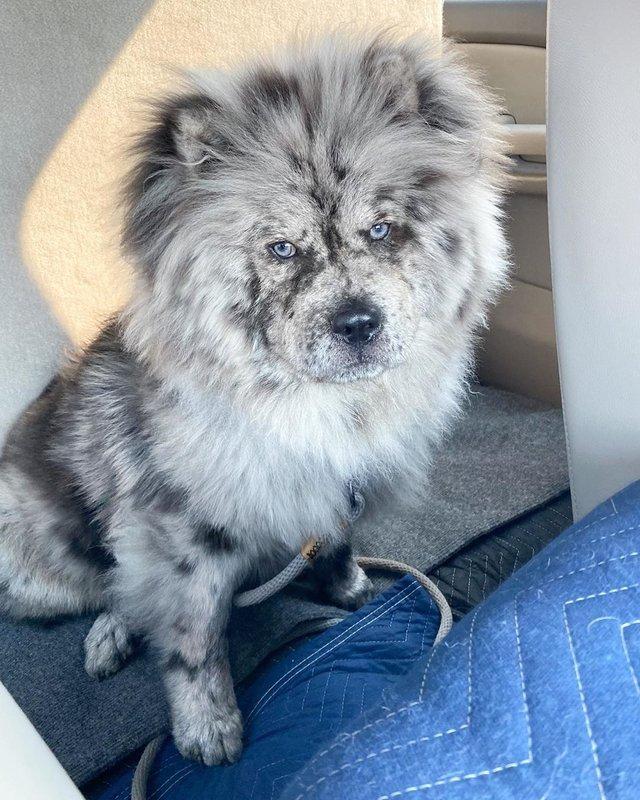 Незвичайний пес породи чау-чау став зіркою в Instagram: фото - фото 430020