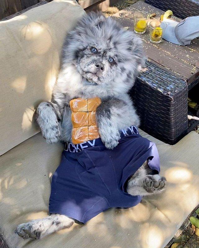 Незвичайний пес породи чау-чау став зіркою в Instagram: фото - фото 430021
